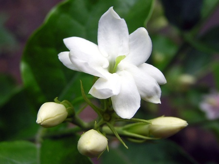Jasmine Flowers in a garden, in the wild