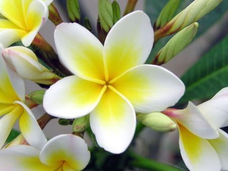white simeon gardenia flowers in a garden photo