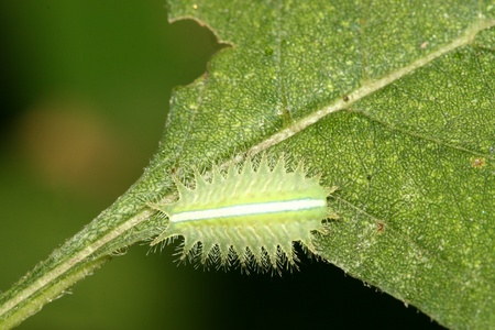 a kind of insects named lepidoptera on green leaf in the wild, north china Stock Photo - 13594347