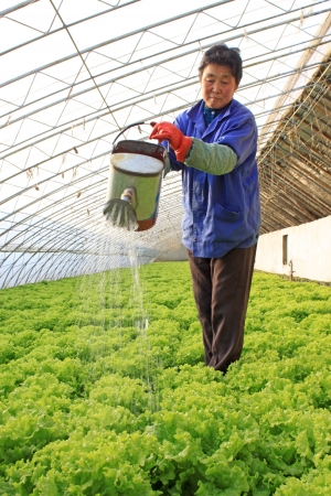 A woman watering for lettuce in the greenhouse,north china