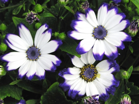 perennial: Perennial herb of Cineraria in a garden