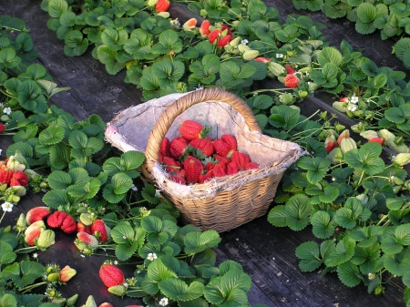 fresh strawberries fruit in a plantation photo