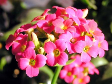 longevity: closeup of photo, longevity flower in a garden