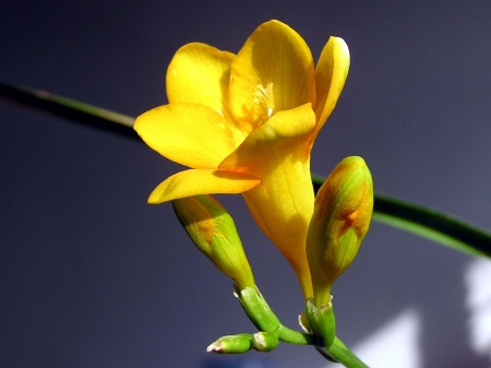 iridaceae: freesia flowers in a garden, north china Stock Photo