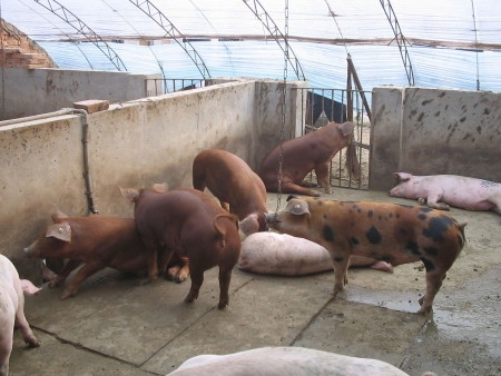 piglets: lean pig in a pig farms, north china