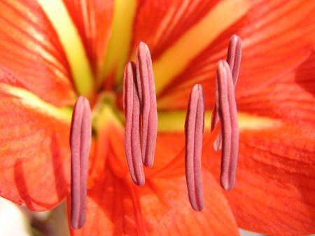 stigma: Amaryllis flower, closeup of photo in a garden, north china Stock Photo