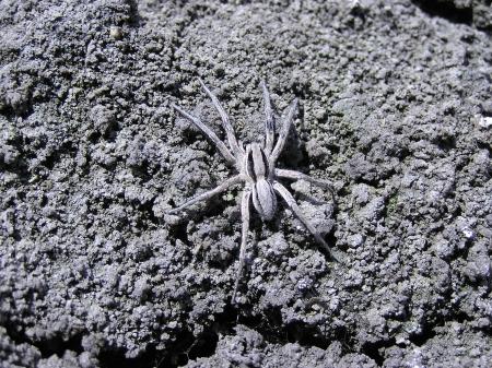 aracnidos: Lycosidae en el suelo en la naturaleza, norte de china Foto de archivo