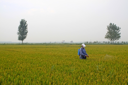 cropland: spraying pesticide farmers in the rice cropland, north china