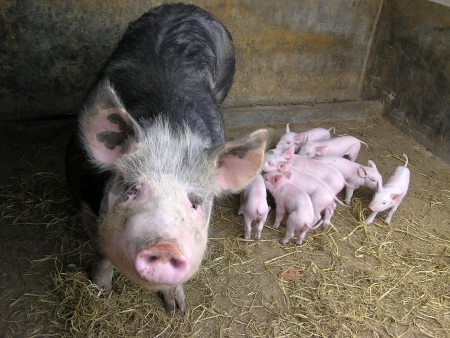 Sow and piglet, animal family on a farm Stock Photo - 15303651