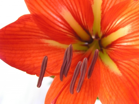 traditional chinese medicine: Amaryllis flower, closeup of photo in a garden, north china Stock Photo