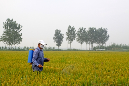 north china: spraying pesticide farmers in the rice cropland, north china