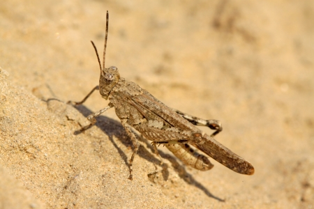 warts: a kind of orthoptera insects named warts locust Stock Photo