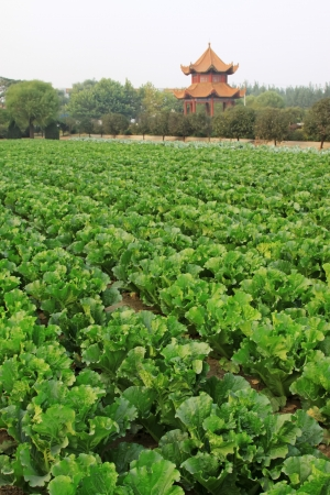 closeup of green chinese cabbage in the fields, north china Stock Photo - 17601897