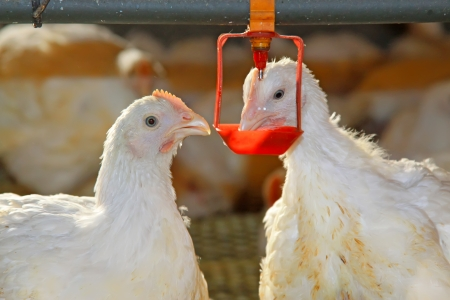 Two chickens are drinking water, in a chicken farm, north china