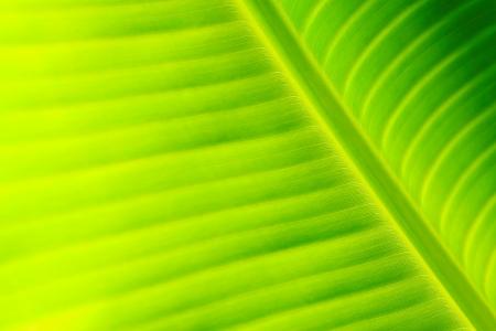 banana leaf: closeup of banana leaf texture, green and fresh, in a park