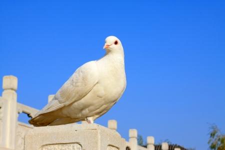 paloma blanca: palomas blancas en un edificio de piedra en el exterior, en el norte de China