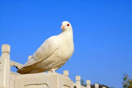 white perch: white pigeons in a stone building in the outdoors, north china