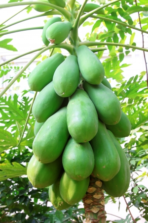 papaya fruit on the trees in a modern plantation, north china photo