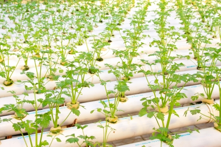 soilless cultivation: soilless cultivation of vegetables, in a hightech plantation, north china Stock Photo