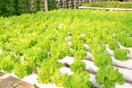 pollution free: soilless cultivation of vegetables, in a hightech plantation, north china Stock Photo