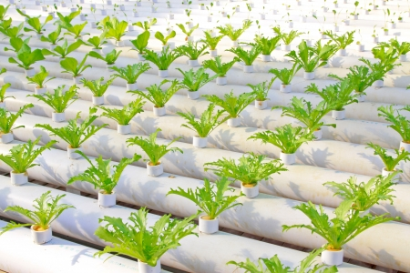 soilless cultivation: Soilless cultivation of green vegetable seedlings in a botanical garden, north China