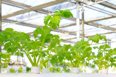 soilless cultivation: Soilless cultivation of celery in a botanical garden, north China