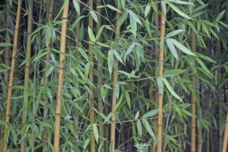 beauty bamboo in a botanical garden, China photo