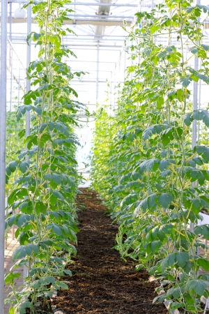 soilless cultivation: Soilless cultivation of green vegetables in a botanical garden, north China