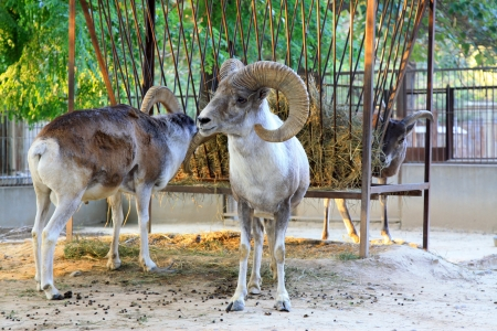 domestication: lovely Argali in the Beijing zoo, china