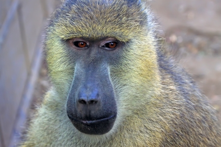 domestication: yellow Baboon in the Beijing zoo, china