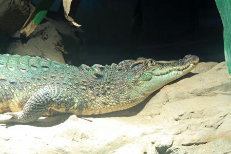 domestication: Caiman in the Beijing zoo, north china Stock Photo