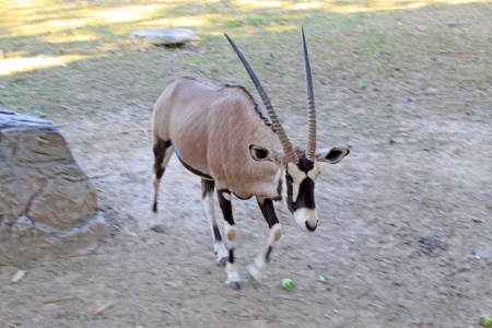 domestication: South African Oryx in the Beijing zoo, china