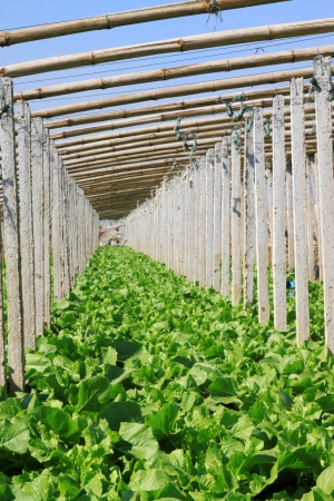 vegetable greenhouse interior landscape in rural areas, north china Stock Photo - 20252531