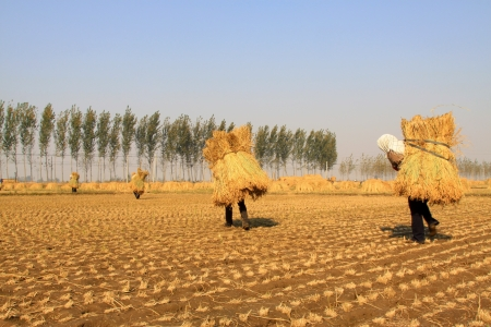 Luannan, October 18, 2012: Farmers were carrying straw in the rice fields, in October 18, 2012, Luannan County, china.  photo
