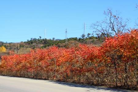 staghorn: red torch leaves under the blue sky in the wild