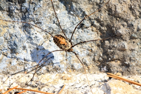 harvestman: closeup of spider in the wild, north china