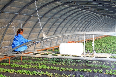 pollution free: Luannan, Hebei Province, November 15  A female was working in the digital precision organic greenhouses  Digital precision organic greenhouse, is a new type of planting methods, will greatly improve agricultural productivity
