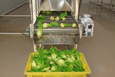 standardization: vegetables in the automatic cleaning equipment, in a vegetables production line