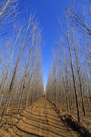 unsurfaced road: forest unsurfaced road in winter, north china
