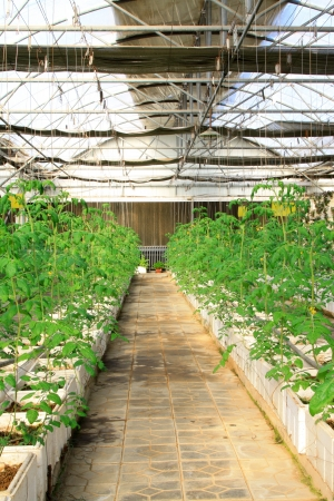 pollution free: Tomato seedling in a botanical garden, Qinhuangdao, China