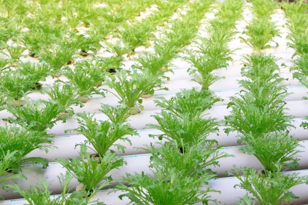 pollution free: Sonchus soilless cultivation in a plantation, Qinhuangdao, China Stock Photo