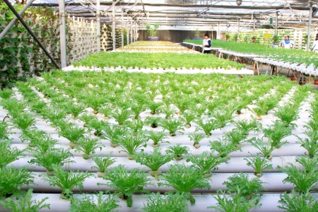 soilless cultivation: Sonchus soilless cultivation in a plantation, Qinhuangdao, China Stock Photo