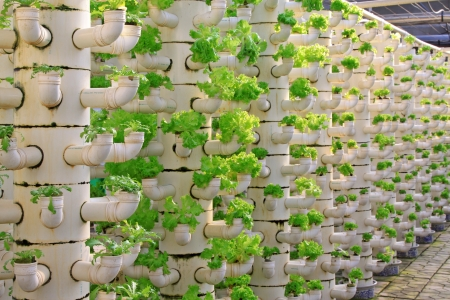 scientific farming: Lettuce soilless cultivation of three dimensional pipeline, Qinhuangdao, China