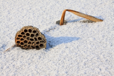 withered lotus stalk in the snow, in winter Stock Photo - 20746461