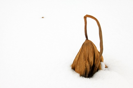 withered lotus stalk in the snow, in winter Stock Photo - 20746545