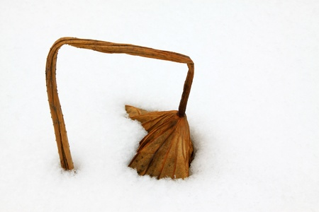 withered lotus stalk in the snow, in winter Stock Photo - 20746549