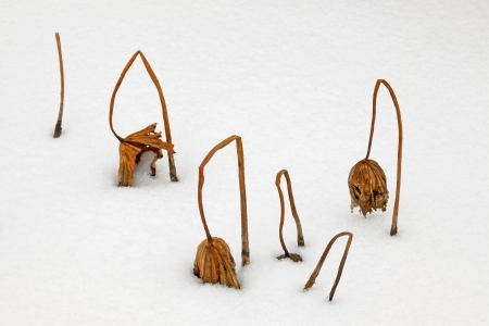 withered lotus stalk in the snow, in winter Stock Photo - 20743642