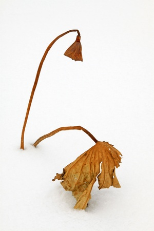 withered lotus stalk in the snow, in winter Stock Photo - 20746519