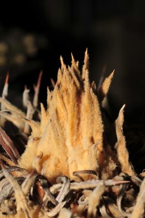 cycas: cycas plant burgeen in a garden, closeup of photo  Stock Photo