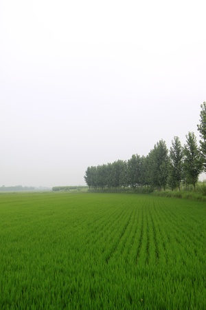 paddy rice field in blue sky, in Chinese rural areas photo